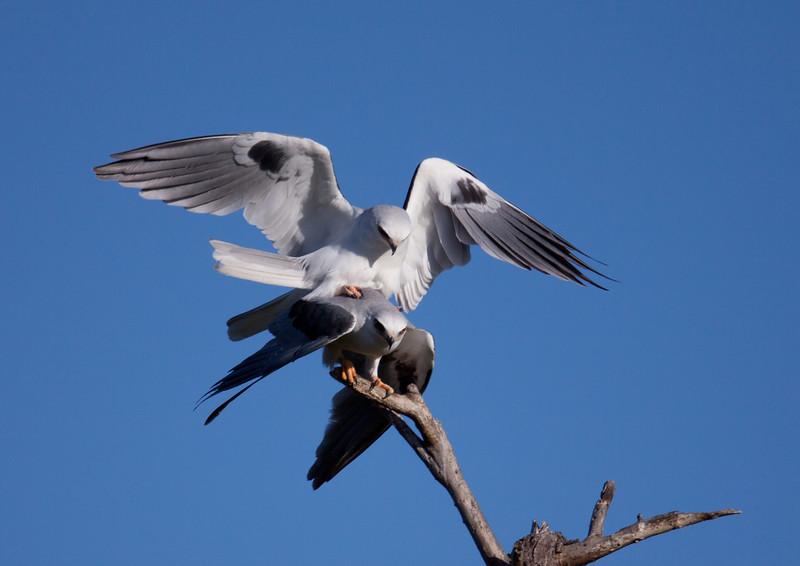 White-Tailed Kite  Oceanside 2010 03 16-1.CR2