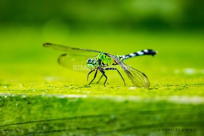Dragonflies: 2019