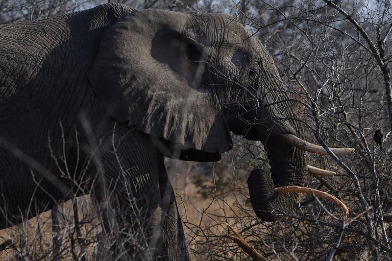 kruger-elephant-eating01.jpg