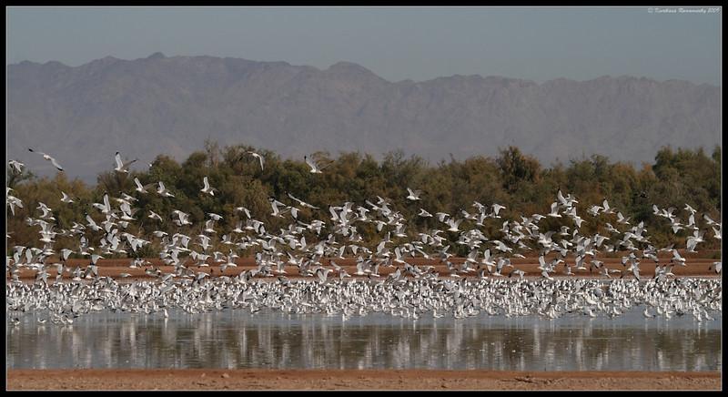 Gulls (mostly ring-billed gulls), Salton Sea, Imperial County, California, November 2009