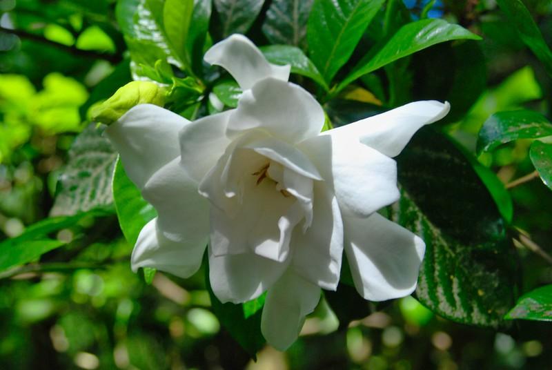 Southern magnolia blossom at Magnolia Gardens