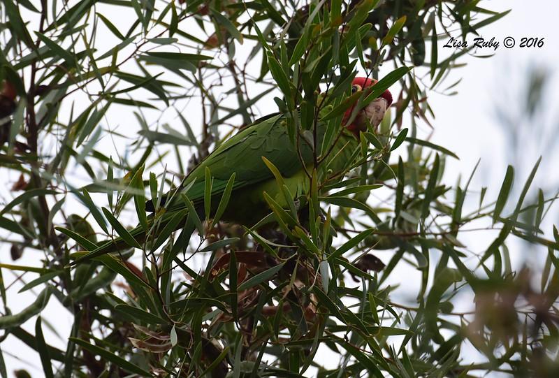 Red-masked Parakeet American Crow - 5/19/2016 - Point Loma Nazarene University
