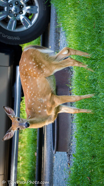 White Tail Deer (Juv)