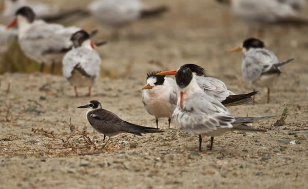 Black Tern Chlidonias niger