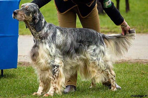 Bobby Gundog Society Of Wales 2010.jpeg