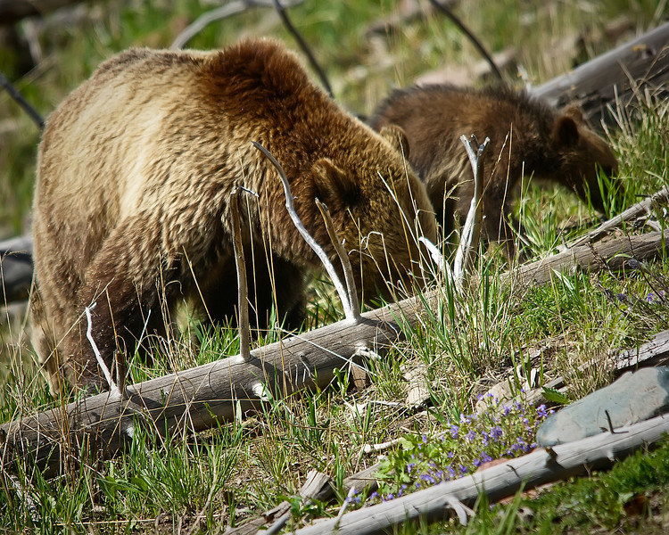 Grizzly Sow & Coy, Yellowstone 1.jpg