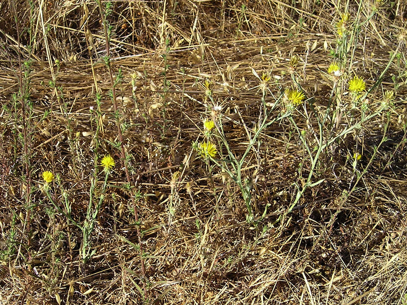 Nasty invasive yellow star thistle, the only thing blooming this time of year on the dry hillsides.