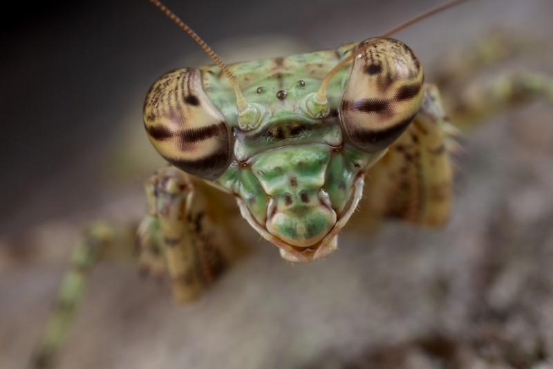 Bark mantis portrait (Theopompus servillei)