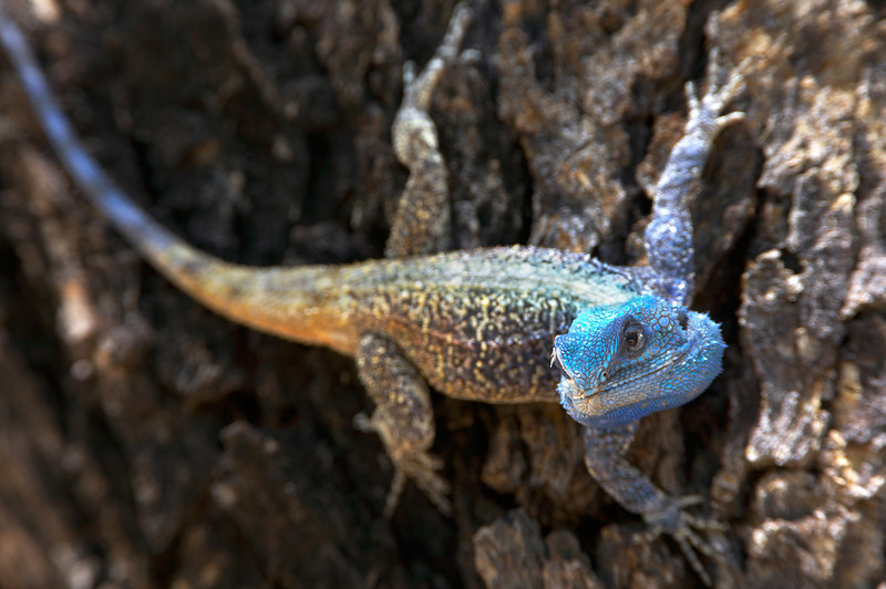 Blue Headed Tree Agama - 0286.jpg