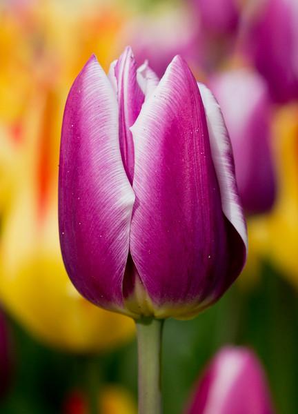 Purple white edged Tulip