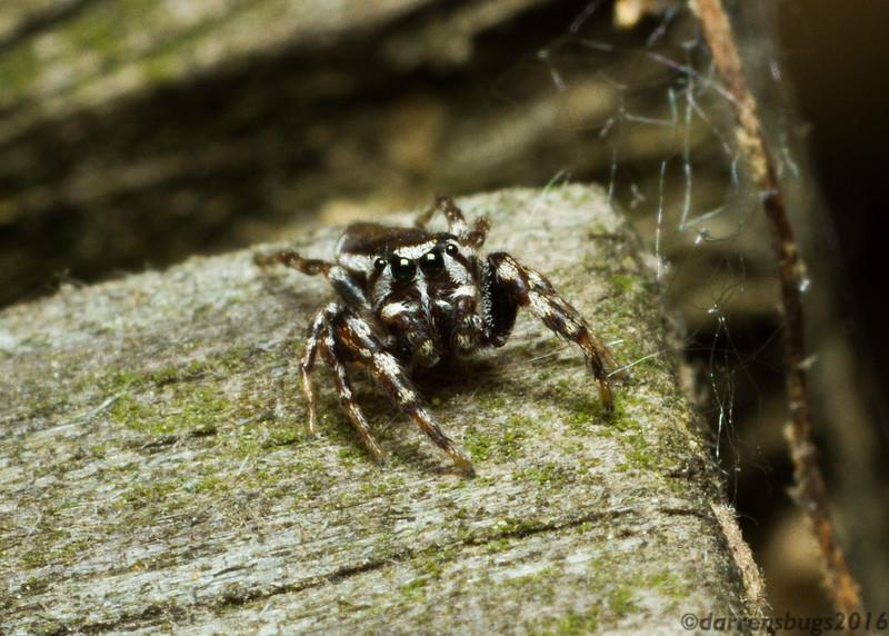 Jumping spider (Pelegrina sp.) from Iowa.