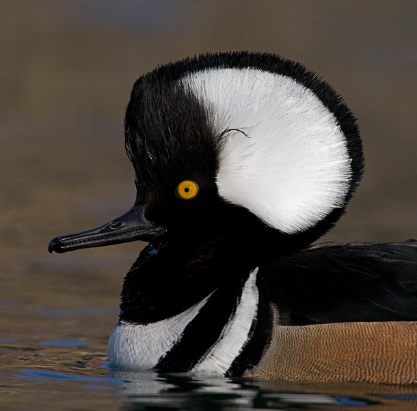closeup of the striking Hooded Merganser