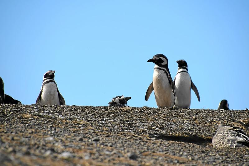 Penguin_Colony_075.jpg