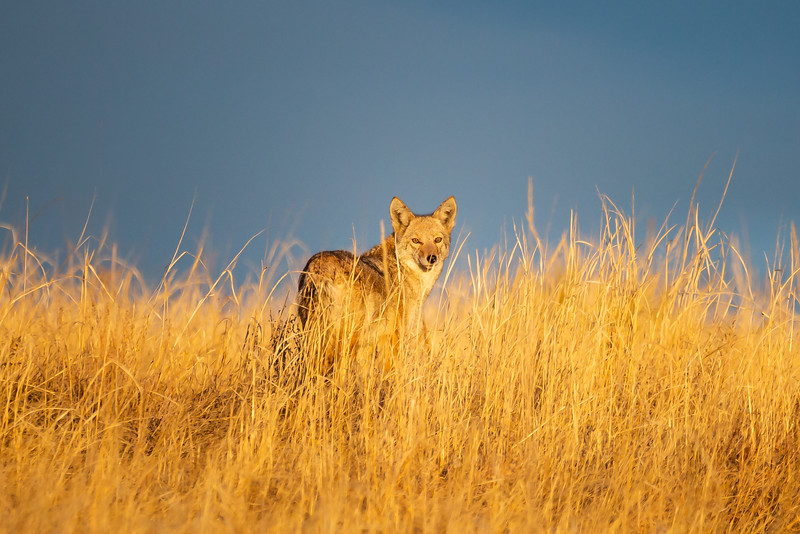 winter coyote-0141.jpg