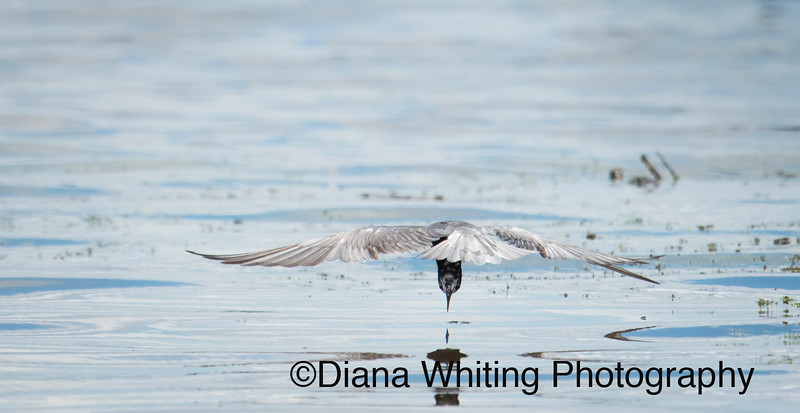 The Beautiful Black Tern Just Entering the Water with Bill on Point