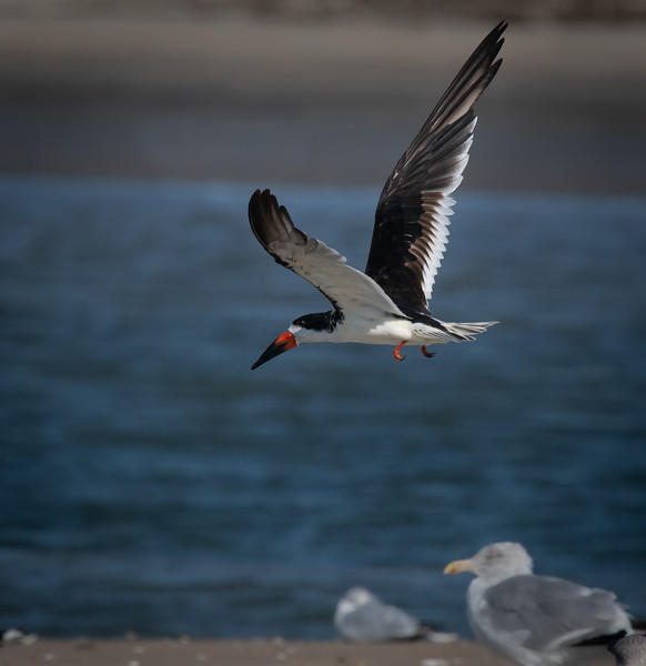 Black Skimmer take off