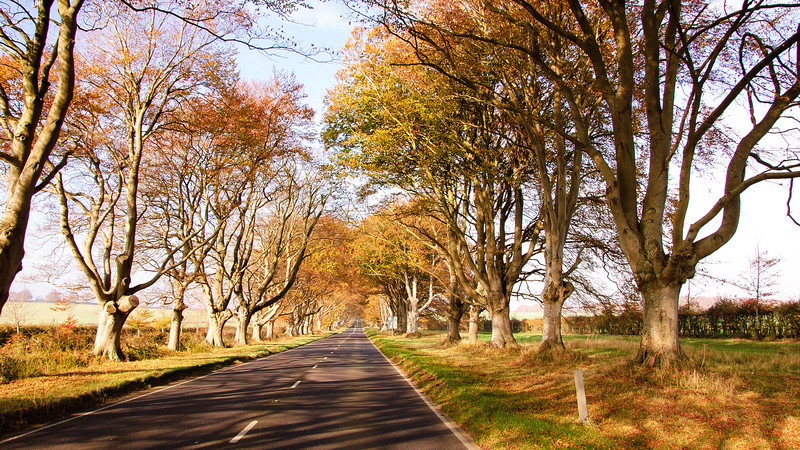 The avenue at Kingston Lacy