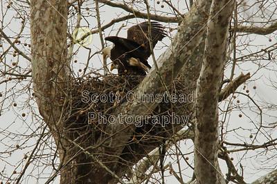 Granville, Ohio - Bald Eagles