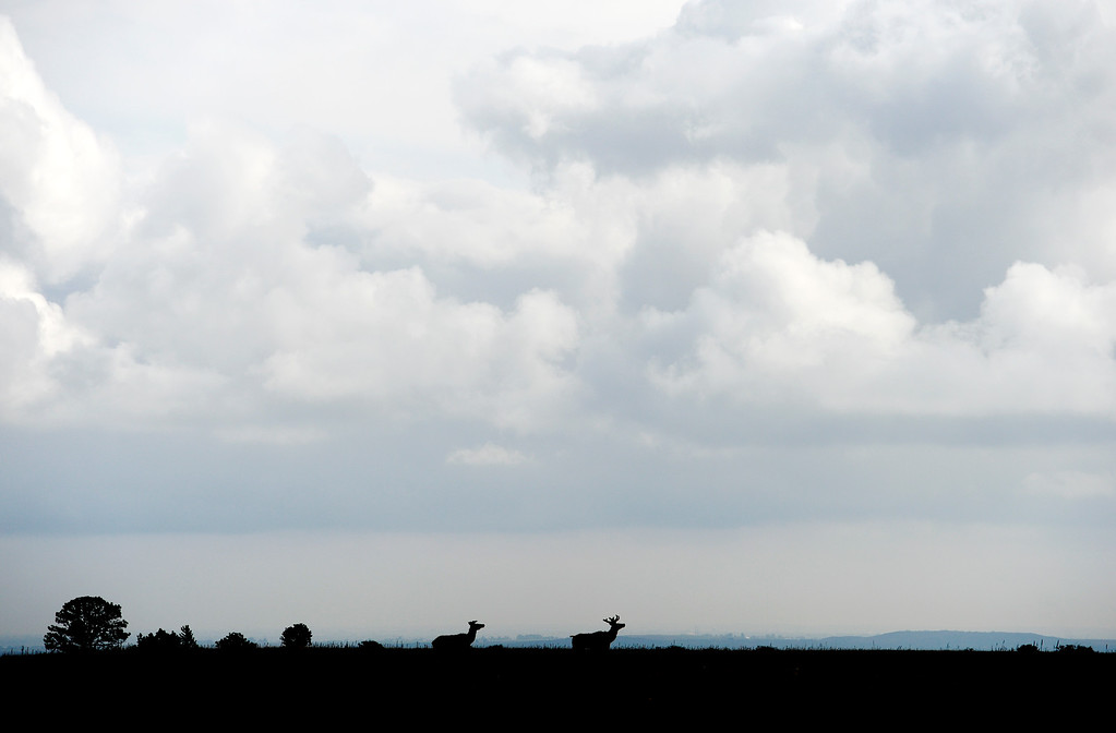 . Elk cross the prairie at the Rocky Flats National Wildlife Refuge in Jefferson County, Colorado on May 14, 2018. (Photo by Matthew Jonas/Staff Photographer)