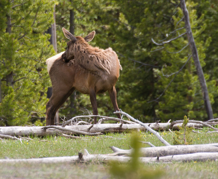 Elk, West Thumb Geyser Basin