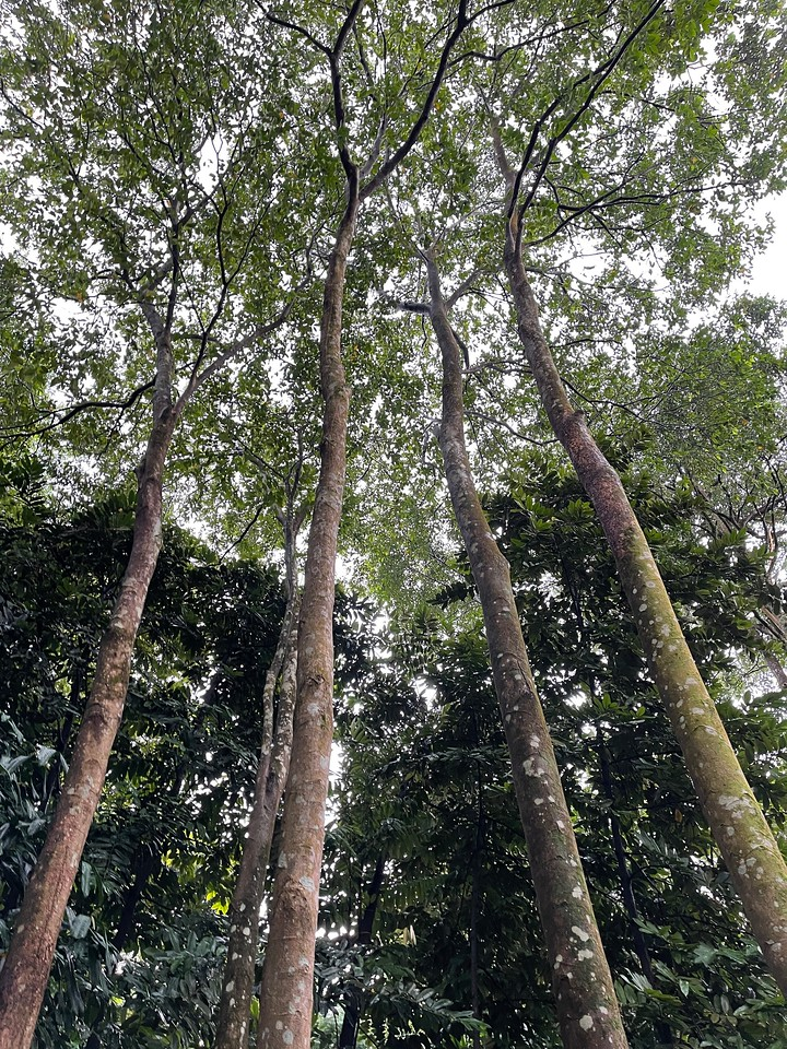 Forest of Giants at Mt Faber
