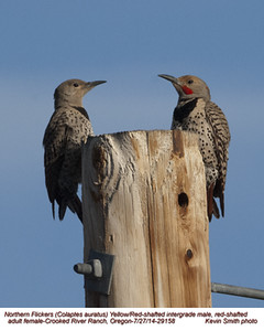 Northern Flickers Yellow-Red Intergrade P29158.jpg