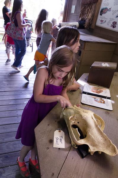 Tiger skull.