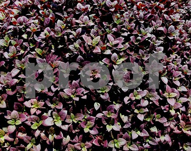 newest-superstar-plant-offers-superb-groundcover