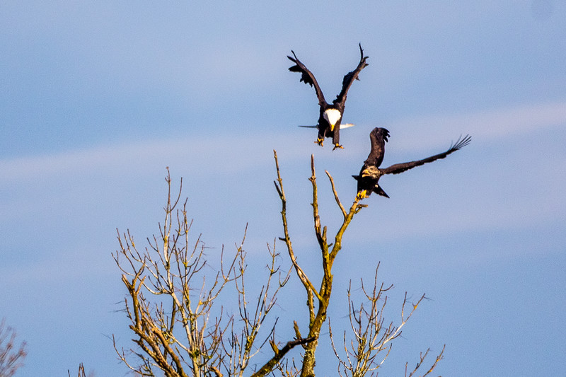 Bald Eagle Tree Dispute -0116.jpg