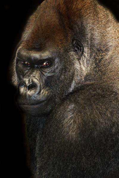 JoJo - Silverback Gorilla