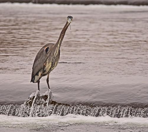 Mill Creek, Bennington Lake G B Herons plus stuff: 12-7-18