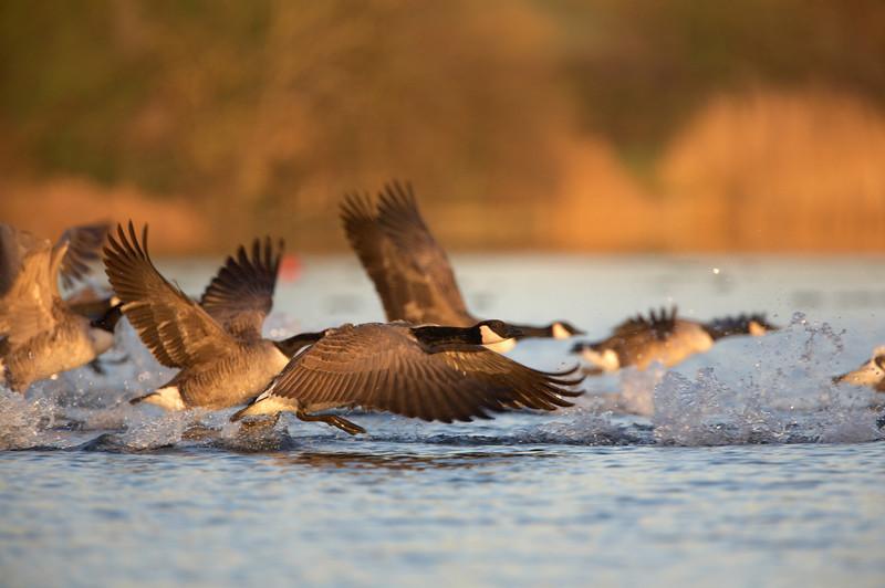 Canada Geese - 3491.jpg