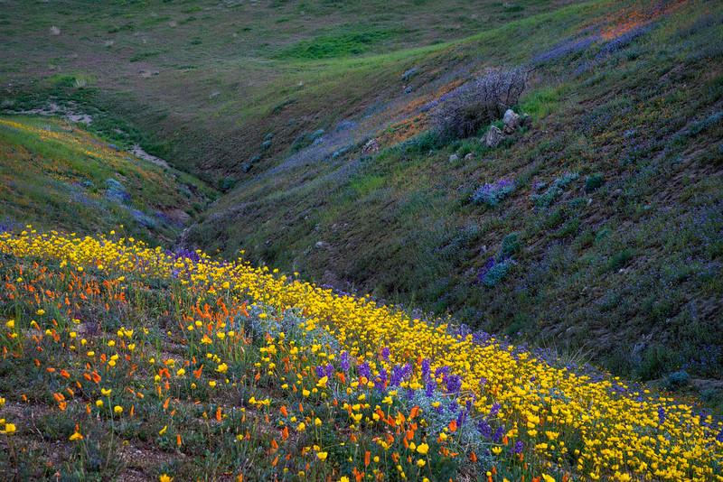 Southern_California_Wildflowers_Sierra_Pelona_Mountains_DSC5840.jpg