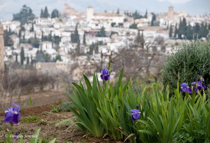 Fri 3/11 at La Alhambra in Grenada: Blooming irises overlook the city of Grenada