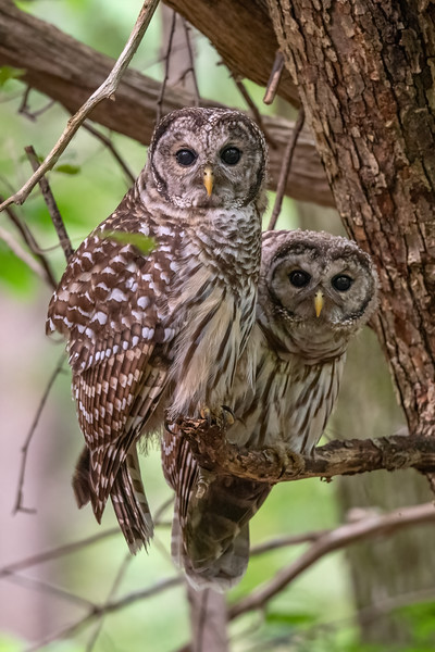 #1751 Barred Owlets