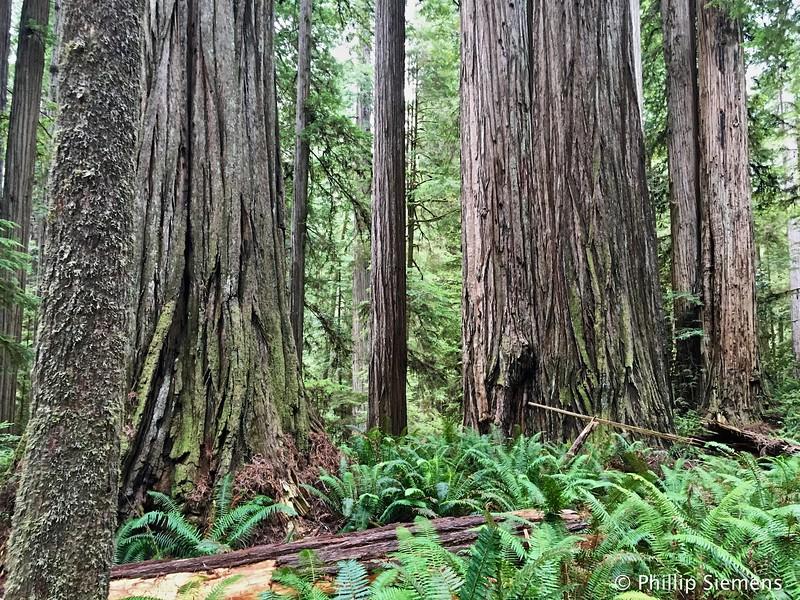 Jed Smith redwoods