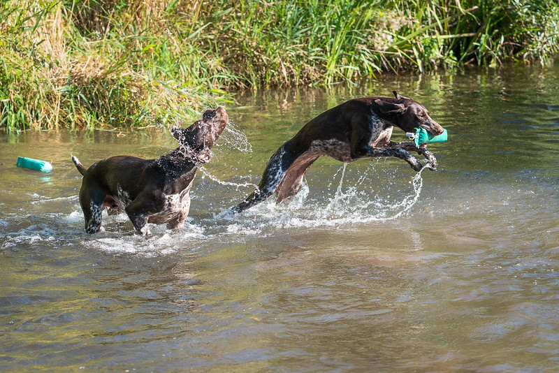 Two German Shorthaired Pointers playing in a stream taken in Hampshire, UK by MIL Pet Photography. Copyright is Millers Image Limited. Dog Photographer is Chris Miller.