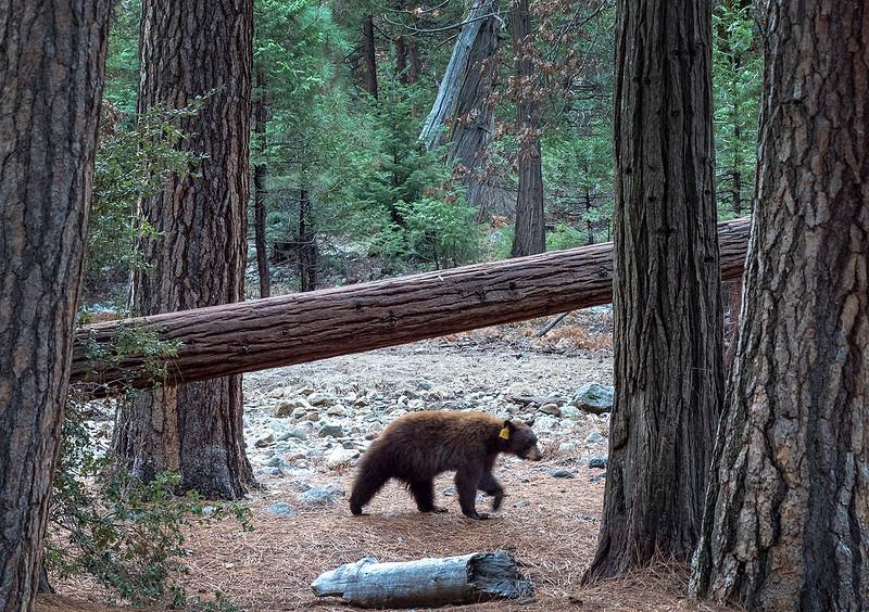 yosemite bear.jpg