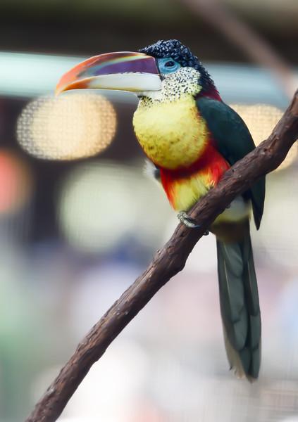 ryle-lenzi-irwin-toucan-saint-augustine-florida.jpg