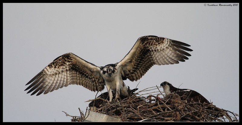 Osprey fledgeling learning to fly while mom looks on, Robb Field, San Diego River, San Diego County, California, May 2010