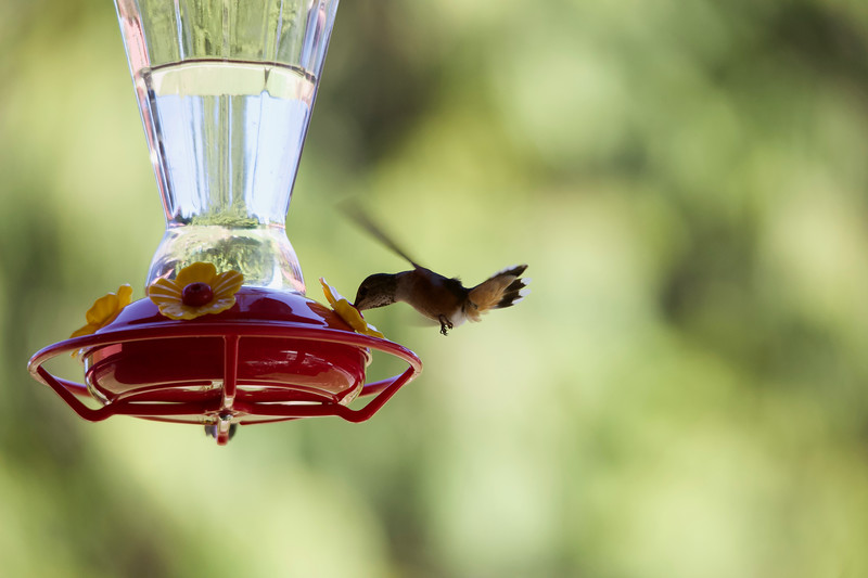 humming bird (24 of 55).jpg