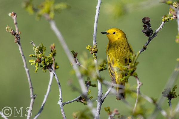 Yellow Warbler Image Gallery