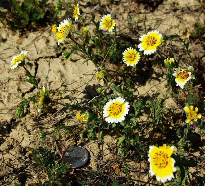 Tidytips (Layia sp., probably jonesii), San Luis Obispo County