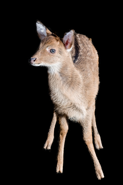 Front view of a young Eld's deer