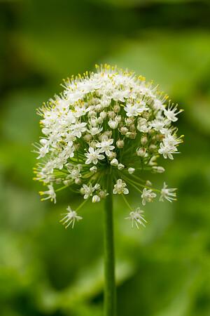 Vegetables - Flowering