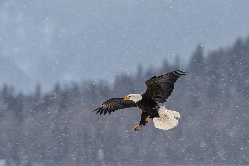 A bald eagle comes in for a landing during a snow storm on the Chilkat River. The Chilkat is home to the world's largest concentration of Bald Eagles, who descend on the valley for the late season salmon run.
