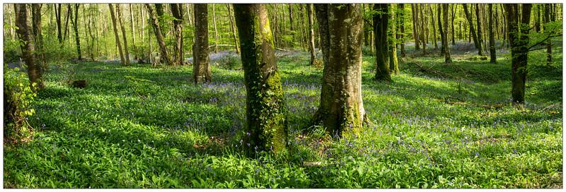 Bluebells_Trees_J.jpg