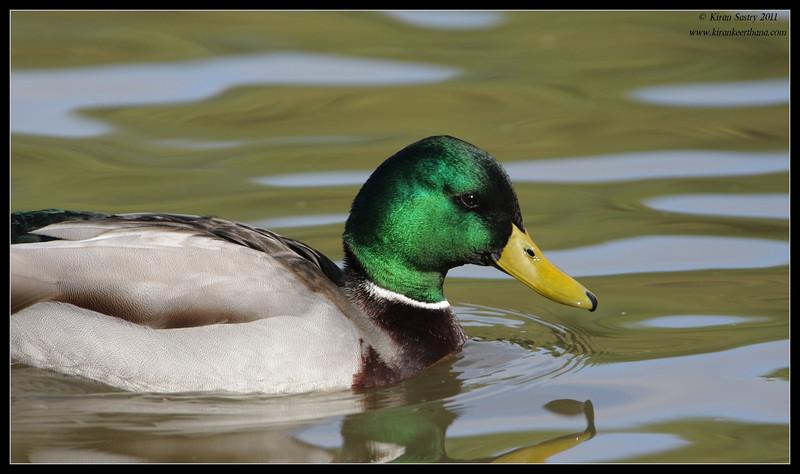 Mallard drake, Lindo Lake, San Diego County, California, November 2011