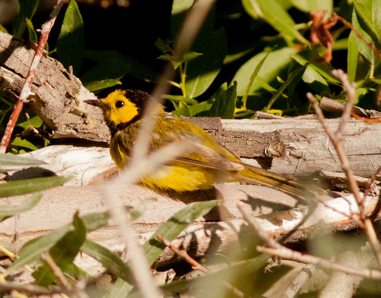 Hooded Warbler Wild Rose Canyon Ca. 2009 07 21-2.CR2