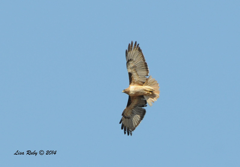 Red-tailed Hawk - 5/25/2014 - Mule Hill Trail